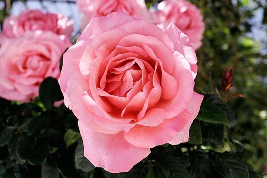 Дамасская роза: самый ароматный сорт