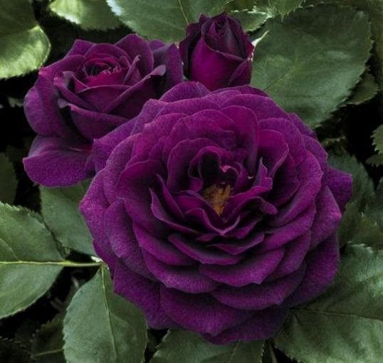 Фиолетовая роза Флорибунда