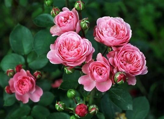 Роза Флорибунда: благодарное цветение