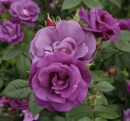 цветущая Роза Флорибунда