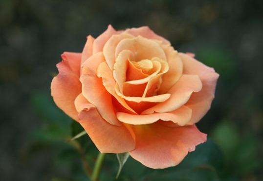 оранжевая Роза Флорибунда