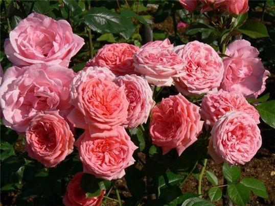 пышная Роза Флорибунда