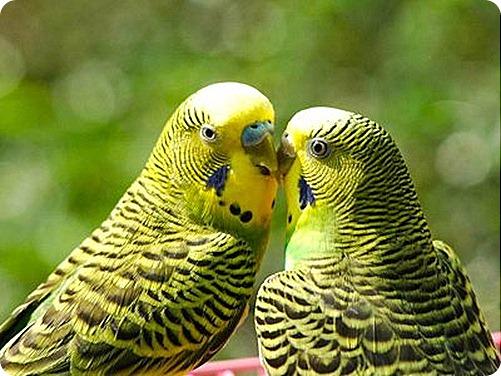 Как ухаживать за волнистыми попугайчиками?