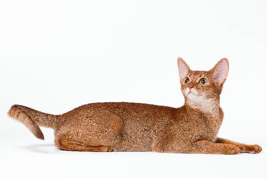 Кошки абиссинской породы: фото царских кошек