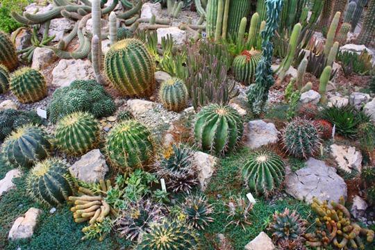 Виды домашних кактусов