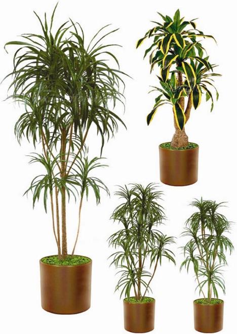 Комнатные растения драцена: особенности выращивания, почва.