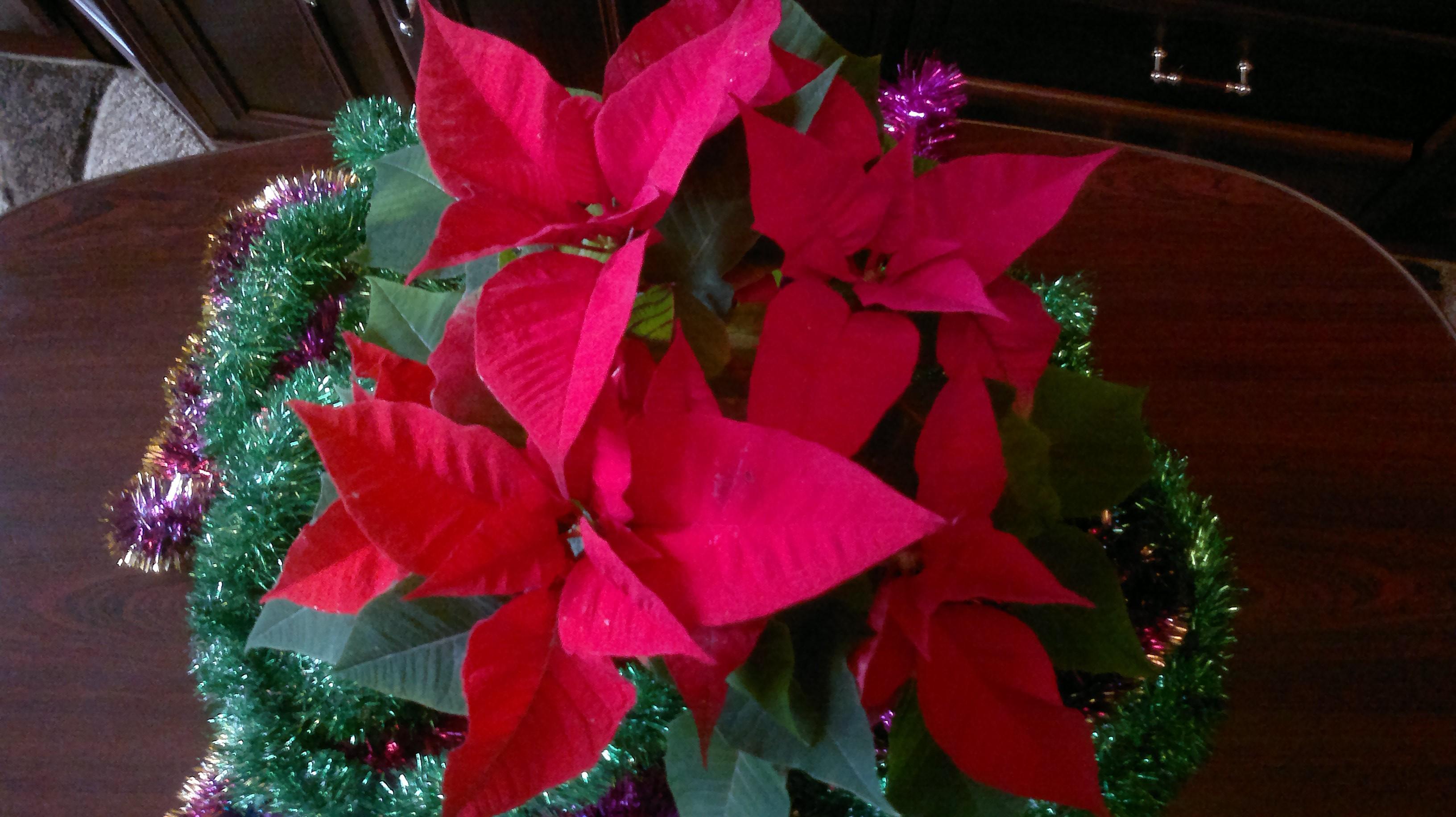 Рождественская звезда цветок в размножение домашних условиях