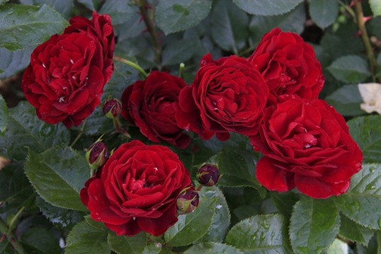Алая роза Флорибунда
