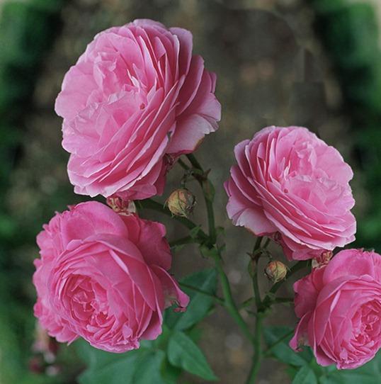 Бурбонские розы: актуальны и по сей день