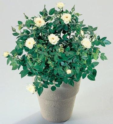 Комнатное растение роза