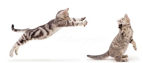 Азиатская табби: верные кошки