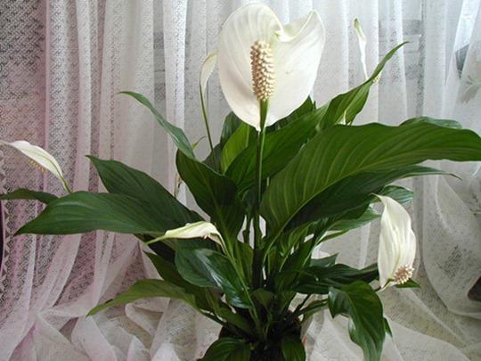 Неприхотливые цветущие комнатные растения