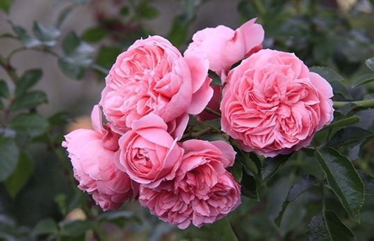 Розовая роза Флорибунда