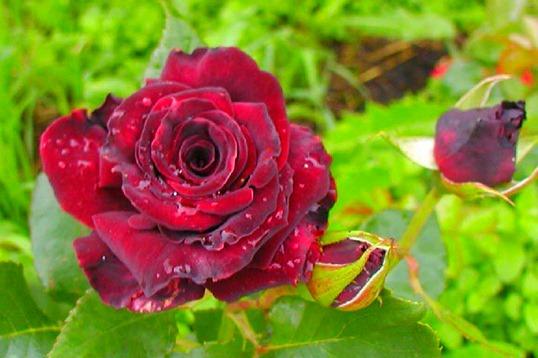 Виды роз: фото и особенности