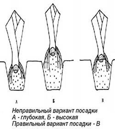 Выращивание ирисов, посадка и уход за ирисами
