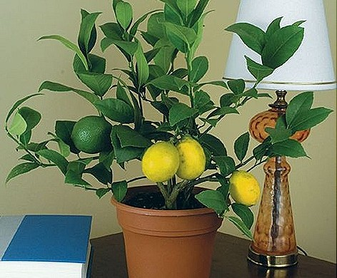комнатное растение лимон
