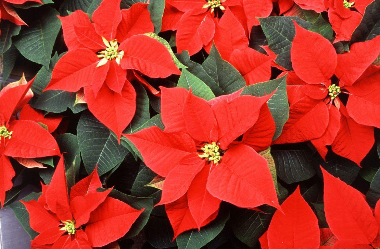 Пуансетия красивые цветы