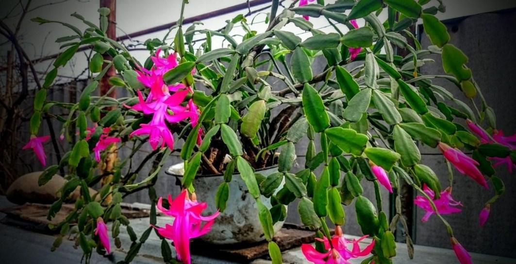 Цветки декабриста