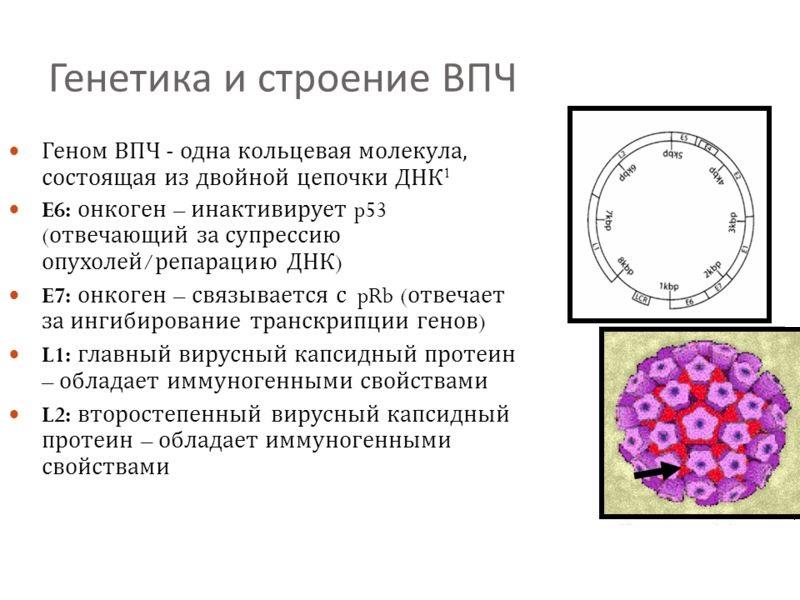 Строение ВПЧ