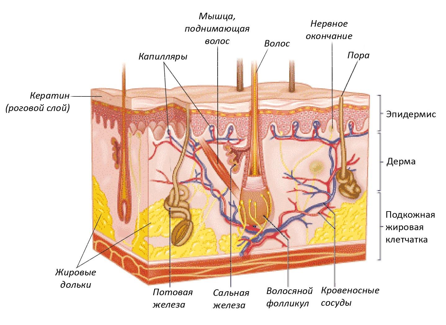 Строение кожи лица