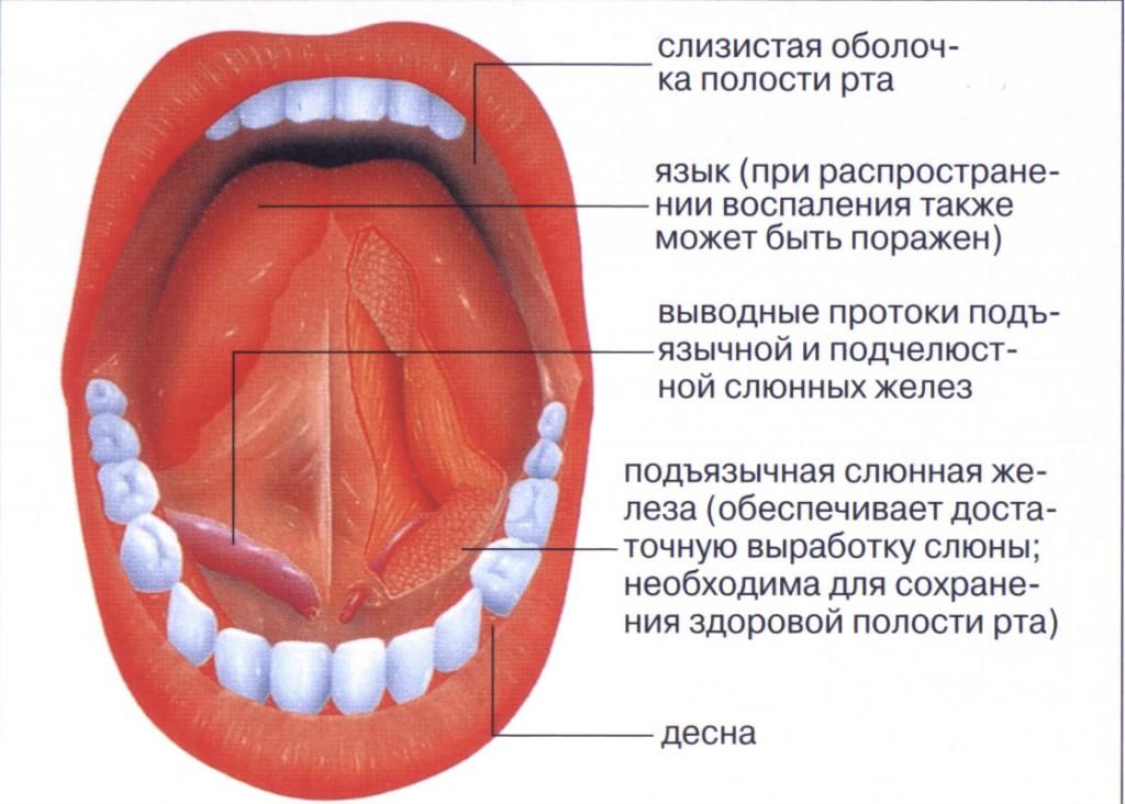 Строение рта
