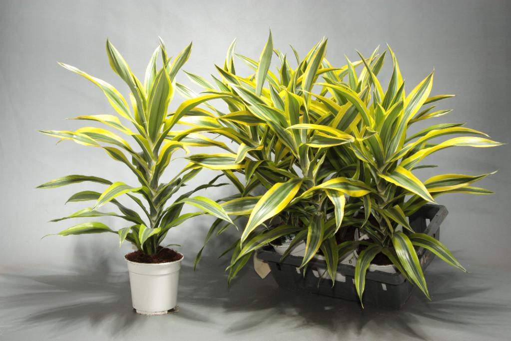 Выращивание драцены в домашних условиях