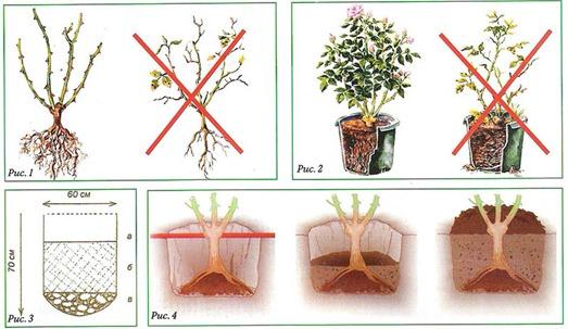 розы, уход и выращивание