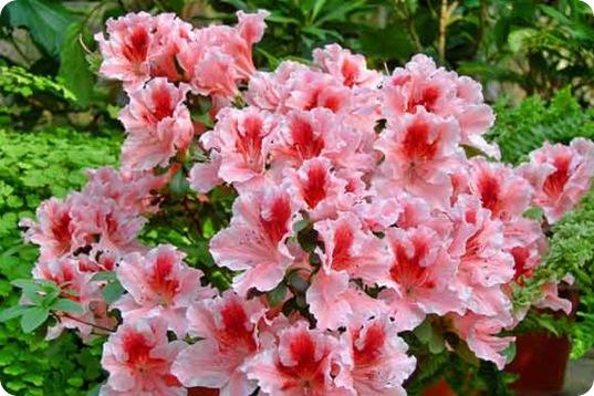 Цветы азалия уход