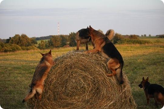 уход за овчаркой