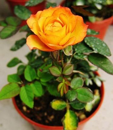 Комнатное растение роза – королева